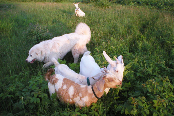 The Virtues of 100% Humanely-Raised Grassfed Goat Meat